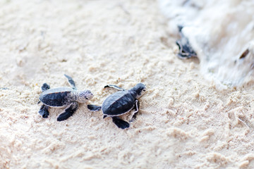 Baby green turtles