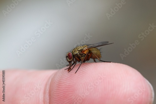Fly on the human finger.