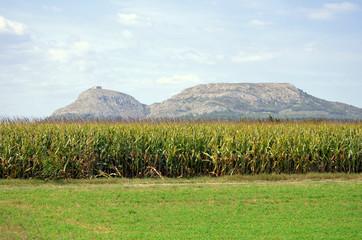 Vista de Torroella de Montgri desde unos campos de maiz