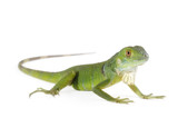 Baby iguana isolated on white background.
