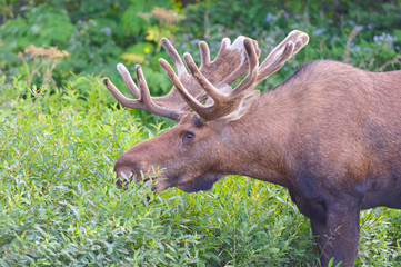 Moose Feeding in the Willlows