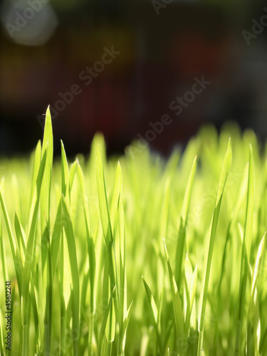 Macro rice seedlings.