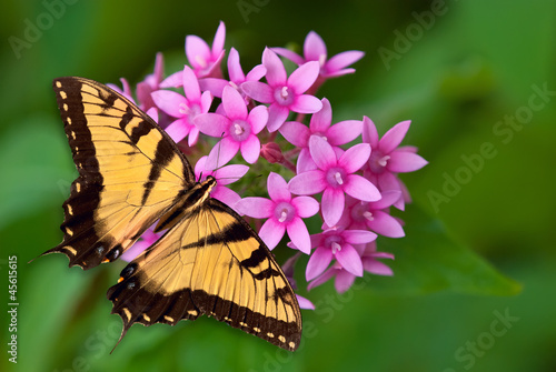 Swallowtail butterfly on pink flowers