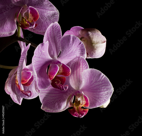 Fototapeten,orchidee,rosa,blume,rot