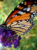 Resting Monarch Butterfly