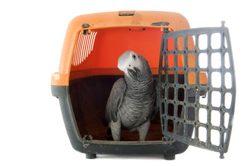African Grey Parrot in kennel