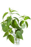 Stinging nettle ( Urtica dioica ), close up poster