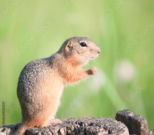 European ground squirrel (gopher, spermophilus citellus)