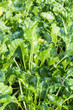 Closeup of sugar beet plants in the field