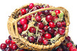 Forest cranberries with basket