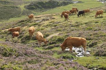 troupeau de vaches, Pyrénées