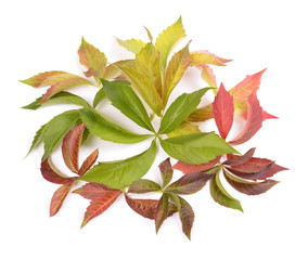 (Parthenocissus quinquefolia) in autumn colors.