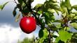 Apfel am Baum vid 03