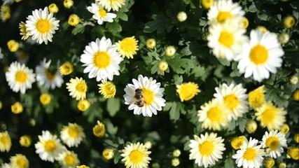 Closeup of white chrysanthemum with honey bee outdoor
