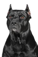 Ameriacn Pittbull Terrier dog in studio