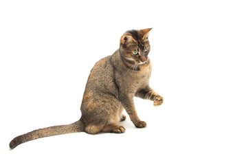 Playful Abyssinian