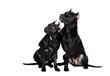Two American Pittbull Terrier dog in studio