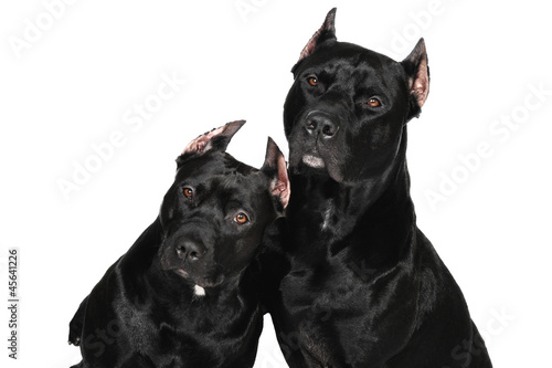 Two American Pittbull Terrier dog in studio