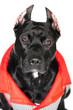 American Pittbull Terrier dog in studio