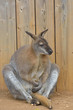 Wallaby Sitting Down