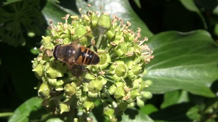 Bee searching for food on an ivy flower in October