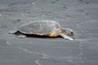 Black Sand Beach Turtle