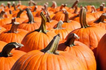 Fresh pumpkins at a farm
