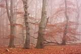 Herbstwald im Nebel im Nationalpark Jasmund auf Rügen