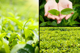 Beautiful tea plantation collage