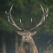 Red deer stag with impressive antlers