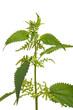 Brennessel (urtica dioica) Pflanze vor weißem Hintergrund