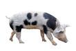 Bayeux pig