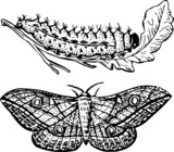 Larva and butterfly