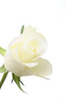 White rose isolated