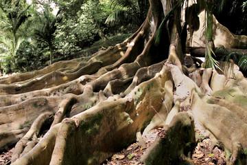 Uralter Ficusbaum - Ancient Ficus Tree