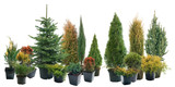 Conifers in containers