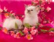 adorable chatons Sacré de Birmanie