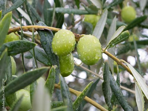Papiers peints Oliviers Olive verdi dopo un temporale