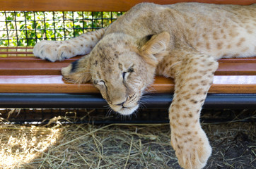 Exhausted young lion cub