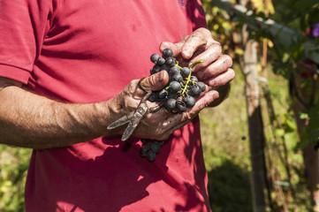 Raccolta dell'uva nelle vigne delle alpi valtellinesi