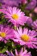 Aster dumosus `Herbstgruß vom Bresserhof´
