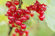 Closeup of ripe red currants