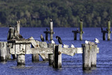 Cormorants and seagulls on pilings
