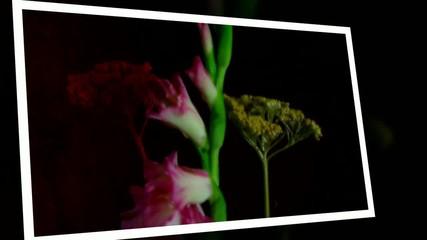 Gladiolo rosa, ambientato, che sboccia.