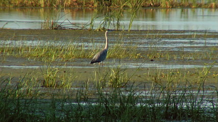 Grey Heron in the wild...(Danube Delta)