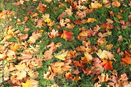 Fallen maple leaves are on the grass in the autumn