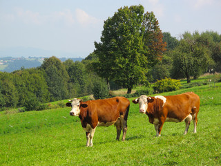 Cows on green meadow. Rural landscape in Bavaria, Germany.