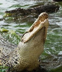 Mouth and teeth of the Cuban crocodile