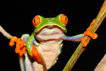 red eyed green tree or gaudy leaf frog hanging on tree, costa ri