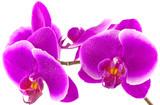 Fototapety orchidée phalaenopsis